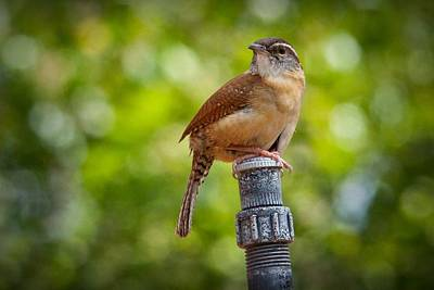 Wren Digital Art - The Carolina Wren by Linda Unger