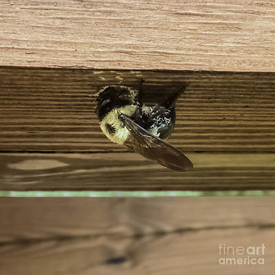 Bee Photograph - The Carpenter by Charlie Cliques