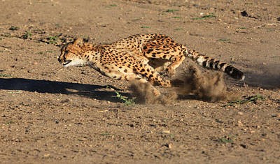 Cheetah Photograph - The Chase by Donna Kennedy