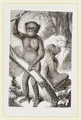 Chimpanzee Drawing - The Chimpanzee by Litz Collection