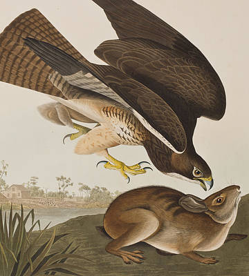 Buzzard Drawing - The Common Buzzard by John James Audubon