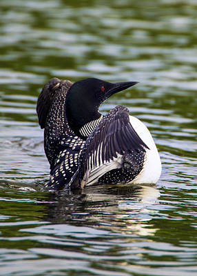 Loon Digital Art - The Common Loon by Bill Tiepelman