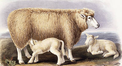 Sheep Drawing - The Cotswold Breed by David Low