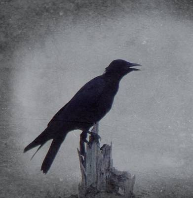 The Crow Print by Justin Ivins