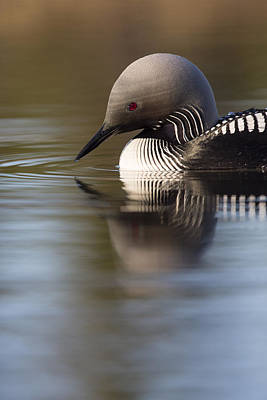 Loon Photograph - The Curve Of A Neck by Tim Grams