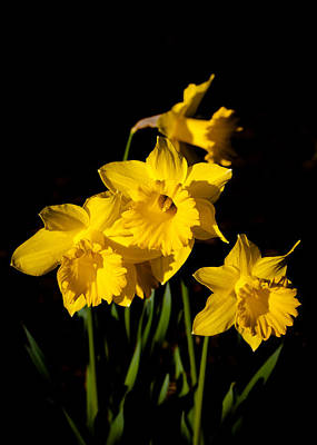 The Daffodils Print by David Patterson