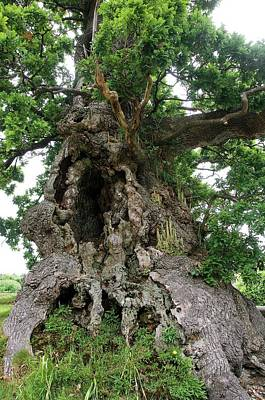 The Darley Oak Print by Sinclair Stammers