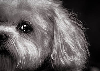 Maltese Photograph - The Dog Next Door by Bob Orsillo