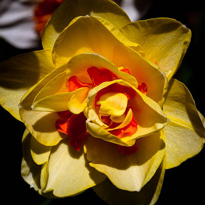 Plants Photograph - The Double Daffodil by David Patterson