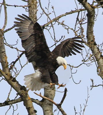 Talons Photograph - The Eagle Is Landing by Angie Vogel