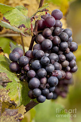 Bunch Of Grapes Photograph - The End Of Grape Harvest by Simona Ghidini