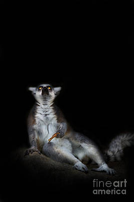 Ring-tail Lemur Photograph - The Epiphany by Ashley Vincent