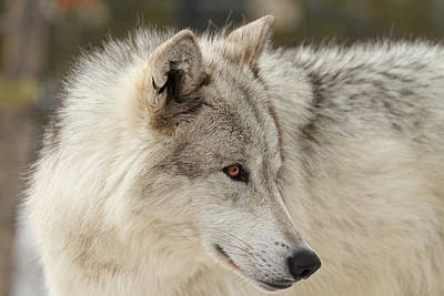 Arctic Wolf Photograph - The Eyes Have It by Sandy Sisti