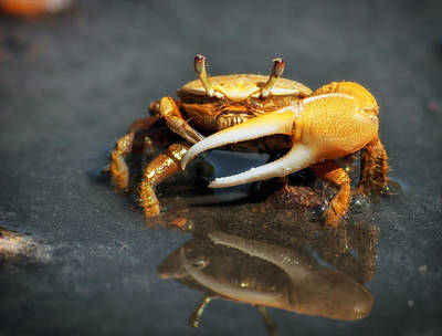 The Fiddler Crab Print by Mountain Dreams