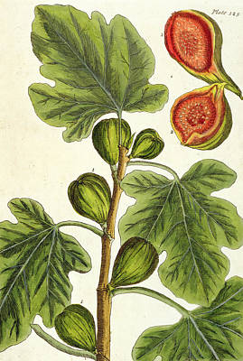 Tree Blossoms Drawing - The Fig Tree by Elizabeth Blackwell