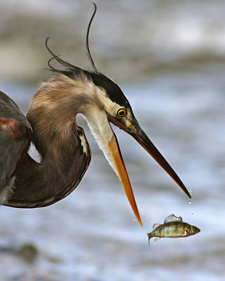 Great Heron Photograph - The Flying Fish by Mircea Costina Photography