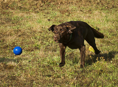 Chocolate Lab Photograph - The Flying Lab by Jean Noren