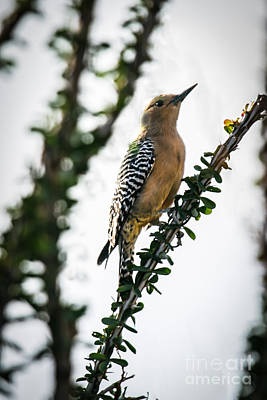 Arizonia Photograph - The Gila  Woodpecker by Robert Bales