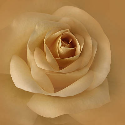 Rose Portrait Photograph - The Golden Rose Flower by Jennie Marie Schell