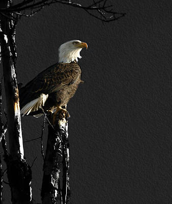 Eagle Photograph - The Great Bald Eagle 1  by Thomas Young