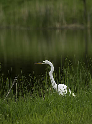 The Great Egret 1 Print by Thomas Young