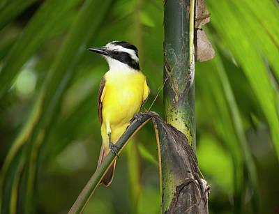 Flycatcher Photograph - The Great Kiskadee, Pitangus by Thomas Wiewandt