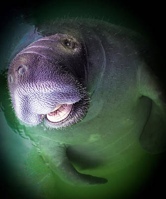 Underwater Photograph - The Happy Manatee by Karen Wiles