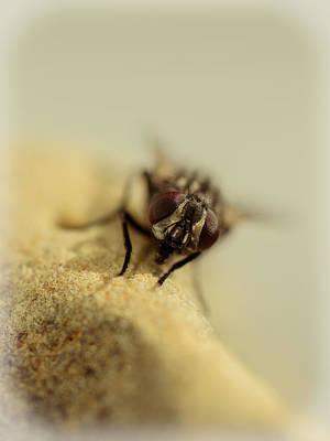Filth Photograph - The Housefly Iv by Marco Oliveira