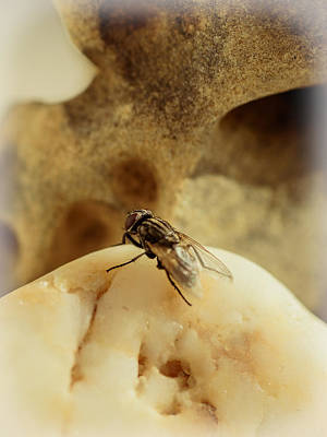 Filth Photograph - The Housefly V by Marco Oliveira