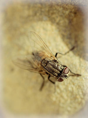 Filth Photograph - The Housefly Vi by Marco Oliveira
