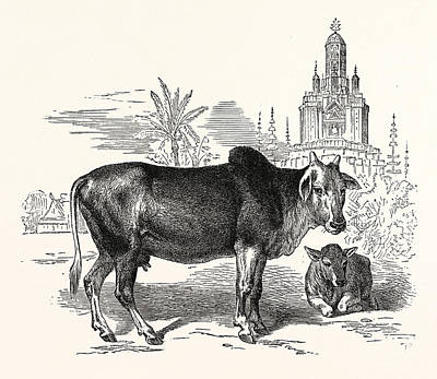 Bo Drawing - The Indian Zebu Bos Indicus. Sometimes Known As Humped by Indian School