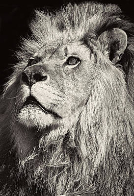 Feline Photograph - The King by Marcia Colelli
