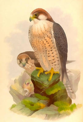 Falcon Digital Art - The Lanner Falcon by Vintage File Collection