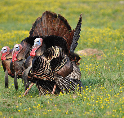 Gobble Photograph - The Line Up by Todd Hostetter