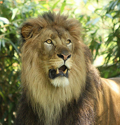 The Lion King Print by Kim Hojnacki