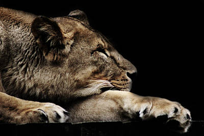 Lion Photograph - The Lion Sleeps Tonight by Martin Newman