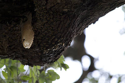 The Live Oak Print by Shawn Marlow