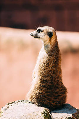Meerkat Photograph - The Lonely Meerkat by Pati Photography