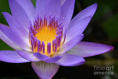 The Lotus Flower - Tropical Flowers Of Hawaii - Nymphaea Stellata Print by Sharon Mau