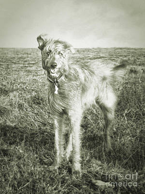 Irish Wolfhound Photograph - The Lurcher  by Rob Hawkins