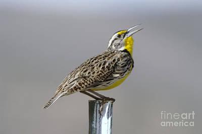Meadowlark Photograph - The Meadowlark Sings  by Jeff Swan