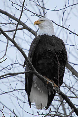 Canada Photograph - The Mighty Bald Eagle Perched On A Branch In Brackendale B.c  by Pierre Leclerc Photography
