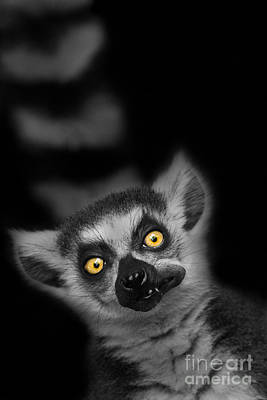 Ring-tail Lemur Photograph - The Munch by Ashley Vincent