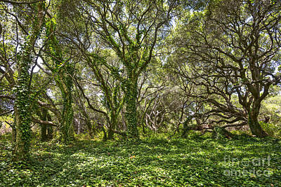 Luis Photograph - The Mysterious Forest - The Magical Trees Of The Los Osos Oak Reserve. by Jamie Pham