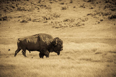 The Old Bull Print by TL  Mair