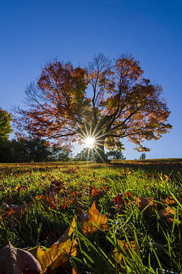 The Old Maple Print by Mircea Costina Photography