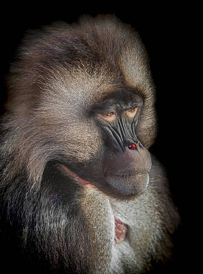 Baboon Photograph - The Old Warrior by Paul Neville