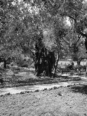 The Olive Tree At Gethsemane Print by Sandra Pena de Ortiz