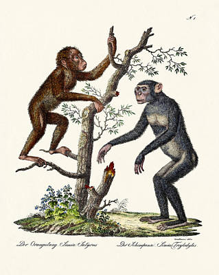 Chimpanzee Drawing - The Orang-outang by Splendid Art Prints