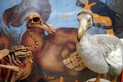 Artefact Photograph - The Oxford Dodo by Greg Smolonski/oxford University Images